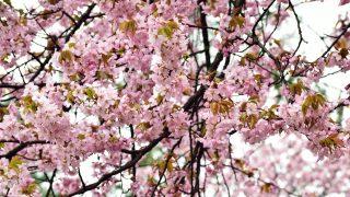 二十間道路桜並木1