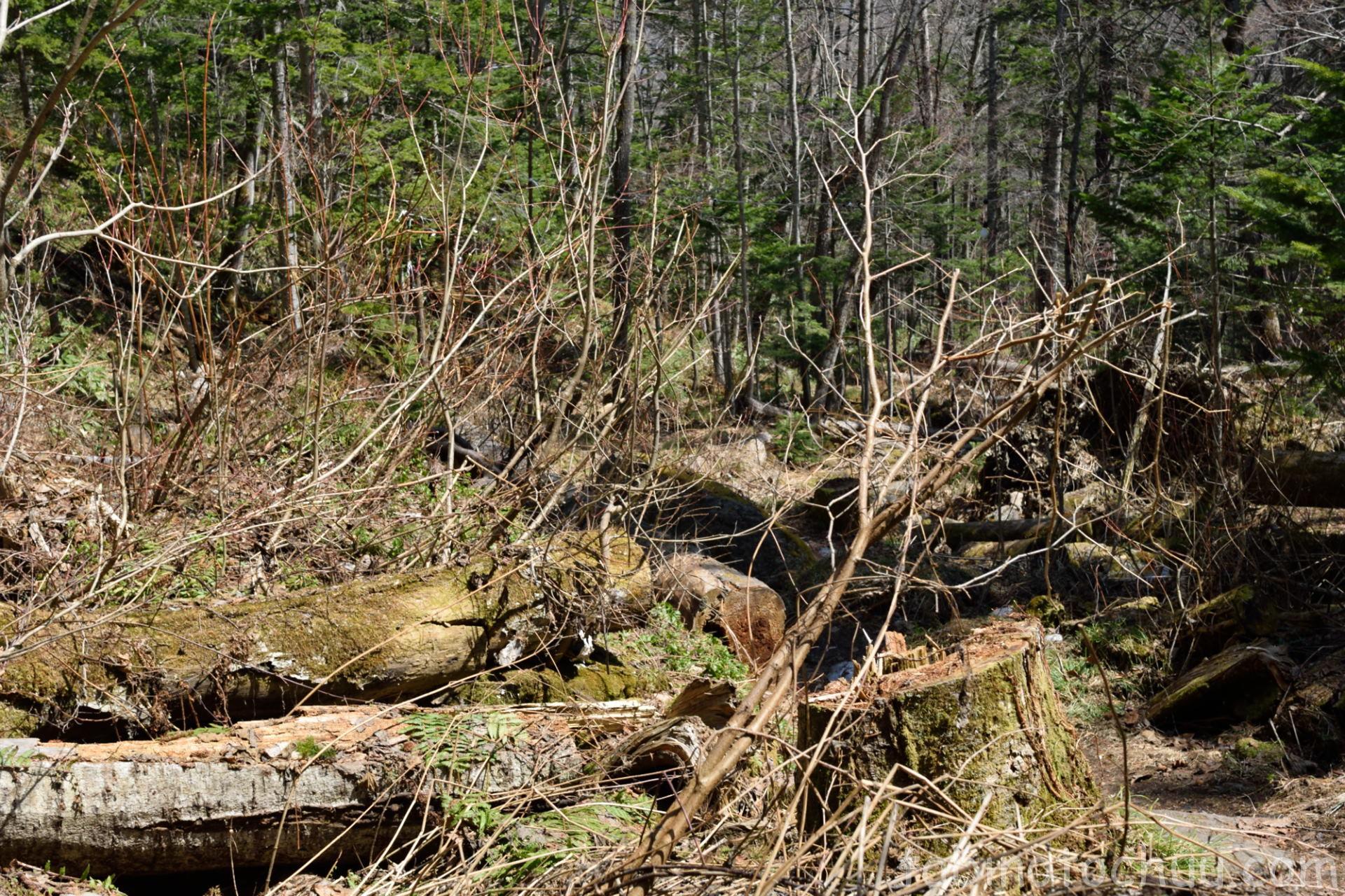 山彦の滝 倒木あり