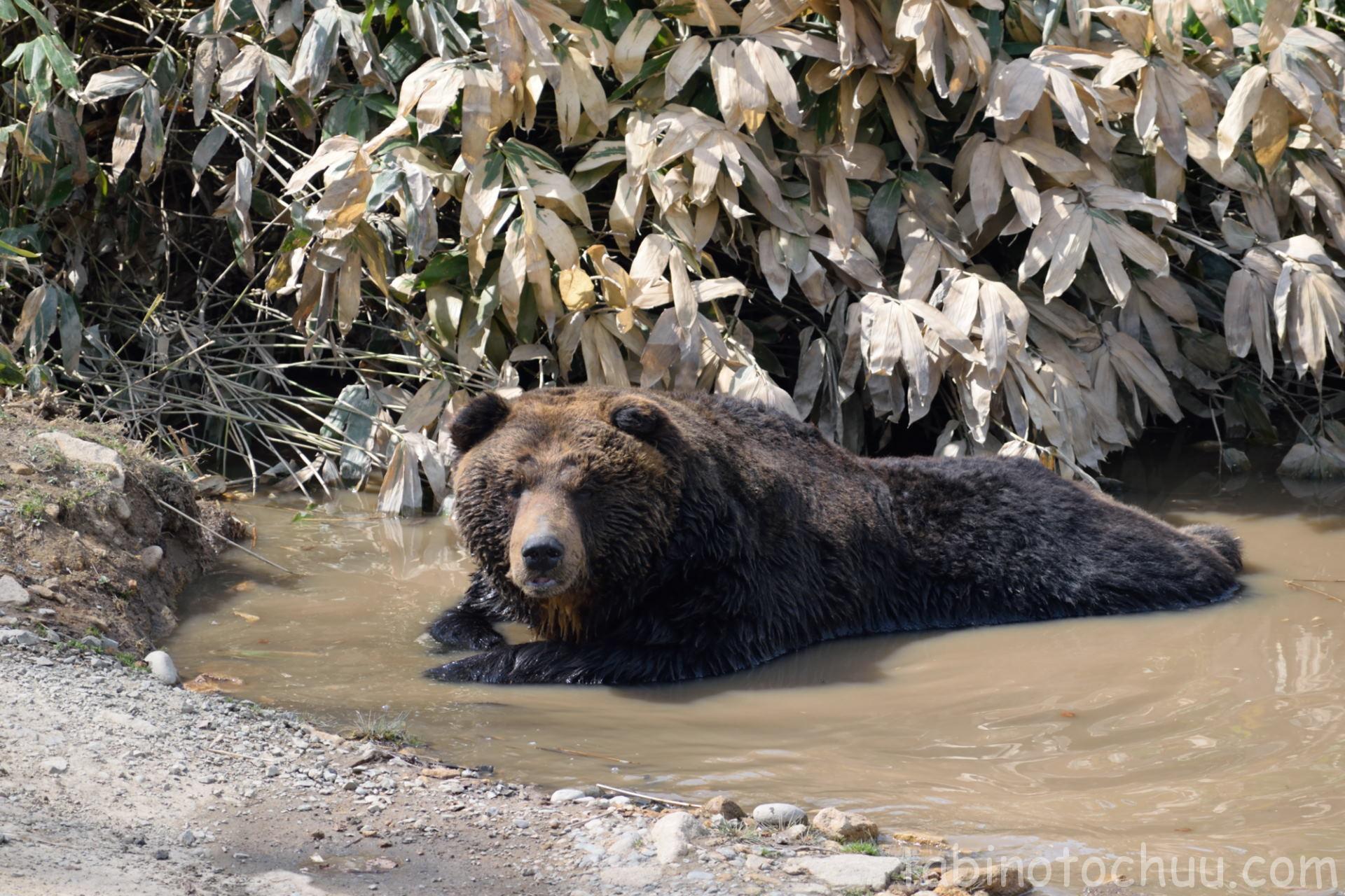 水たまりに浸かるクマ