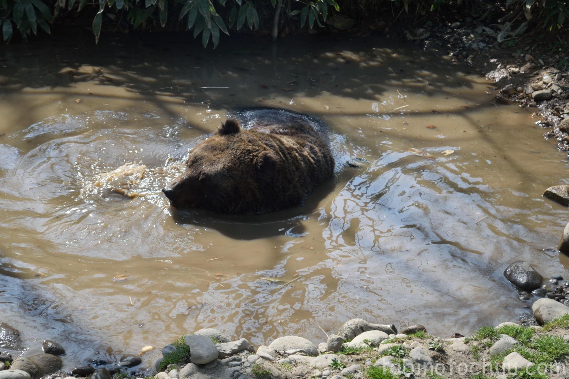水遊びをするクマ