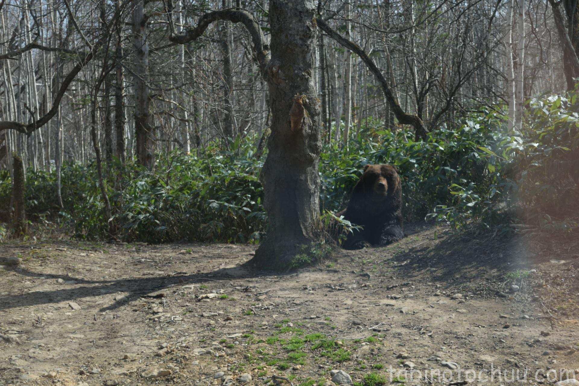 仲間を近くから監視するクマ