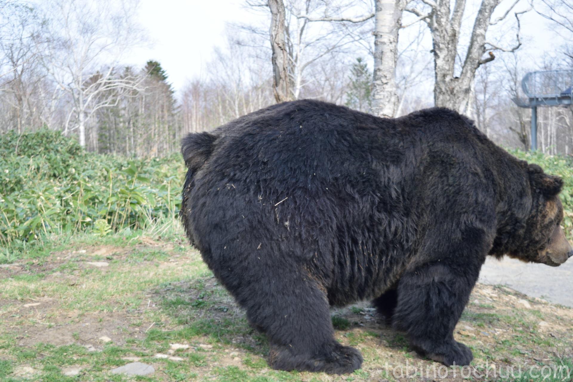 クマの尻尾