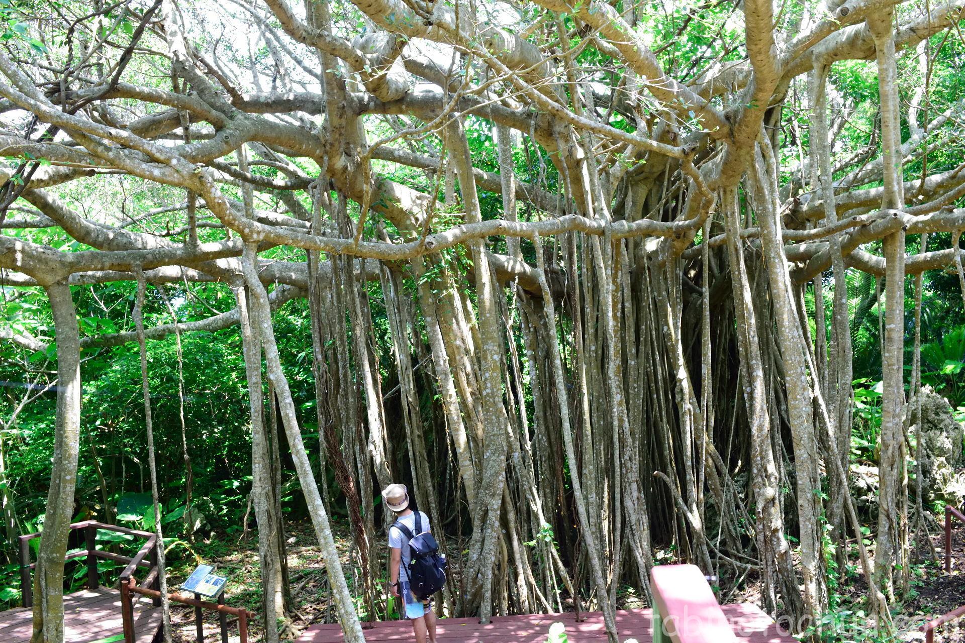 大石林山 ガジュマルの木