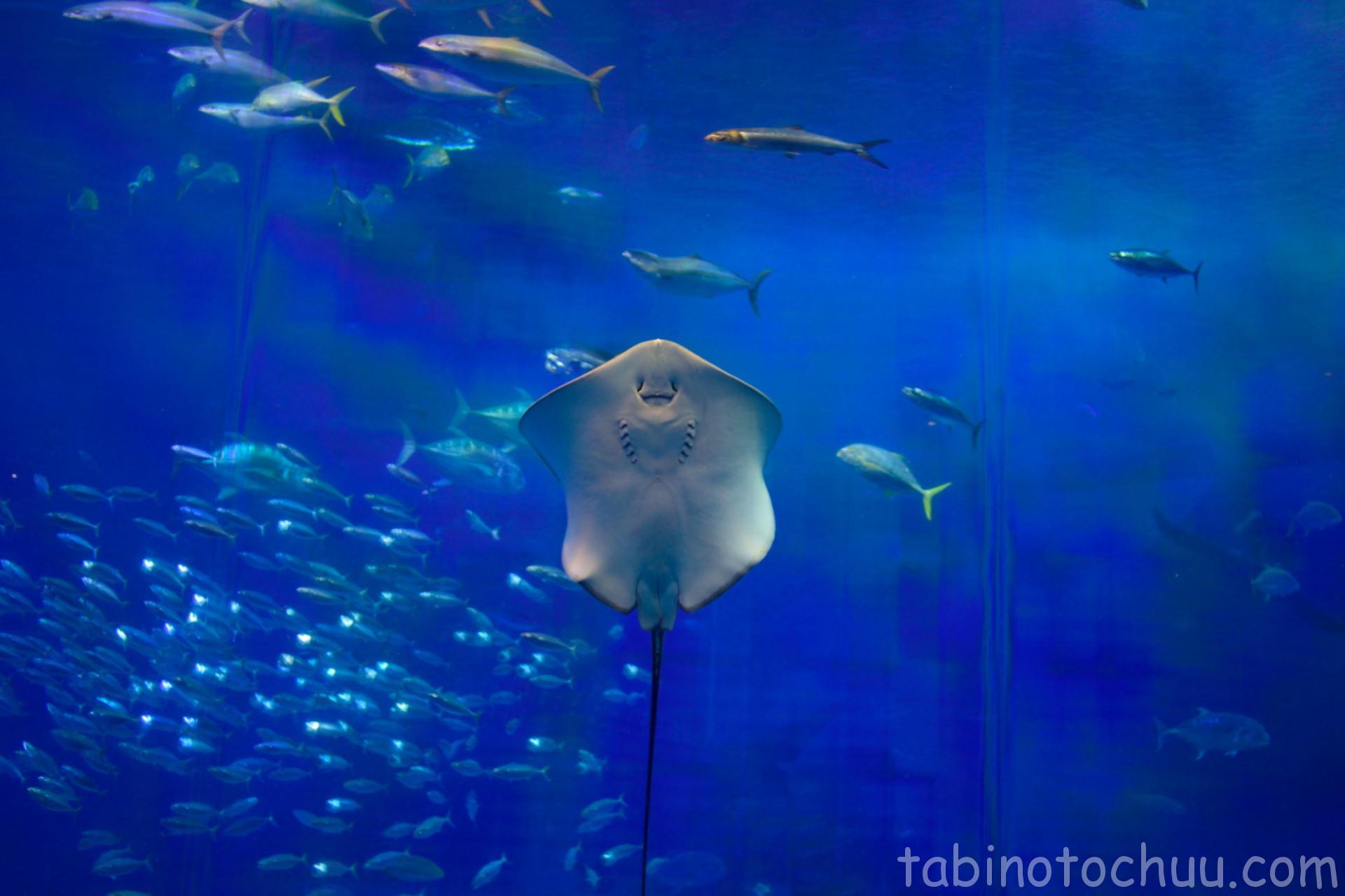 美ら海水族館 エイ