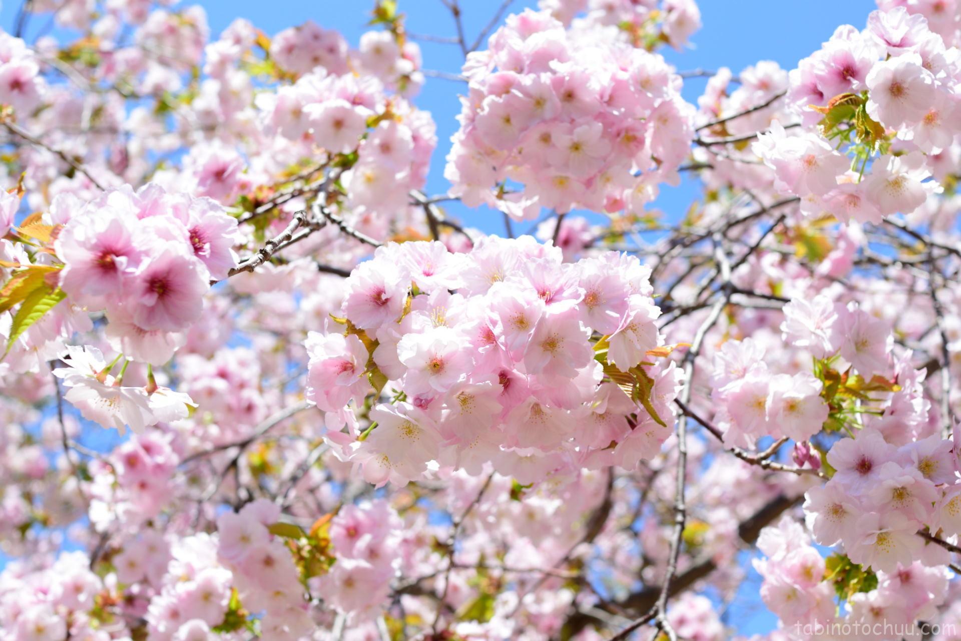 まつまえ桜祭り